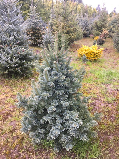 Abies Magnifica Nana Peace Of Mind Nursery
