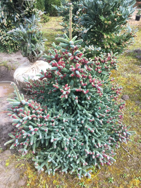 Abies Free Abies Concolor Candicans With Abies Abies Pinsapo